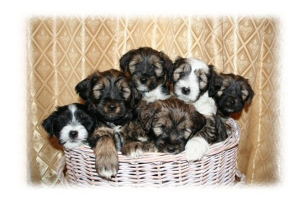 Tibetan Terrier Puppies on Togepi Tibetan Terriers
